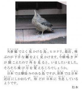 ヒヨドリの雛(ひな)